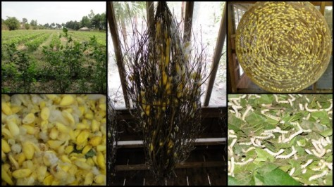Silk: (top left) Mulberry Trees, (bottom left) silk cacoons, (center) cacoons on bundles of sticks and (top right) circular basket, (bottom right) silk worms munching on Mulberry leaves