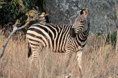 Zebra in the Eastern Highlands, Nyanga National Park, Zimbabwe