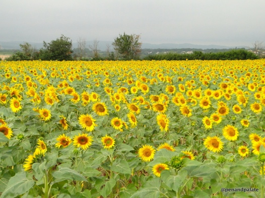 sunflowers in the southern Languedoc, France