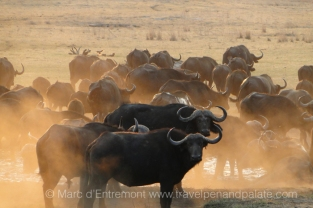 Buffalo in Zimbabwe