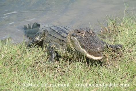 alligator in Cameron Parish, LA