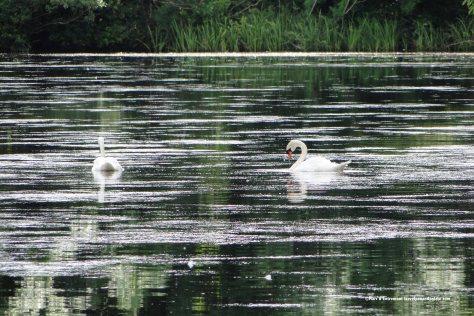 swans at Westport House, Ireland