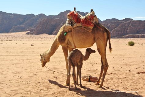 Mother & newborn camels, Wadi Rum, Jordan