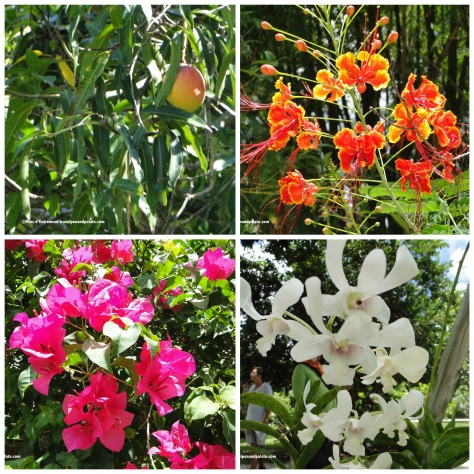 (clockwise from top left) one of many mango trees, dwarf red poinciana, orchids, bougainvillea