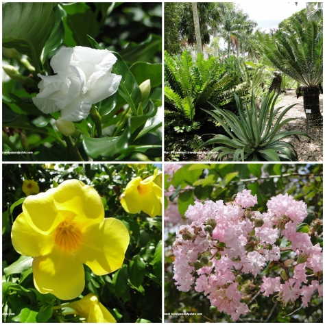 (clockwise from top left) Crape jasmine (often confused for gardenia) cycads, crape myrtle, allamanda