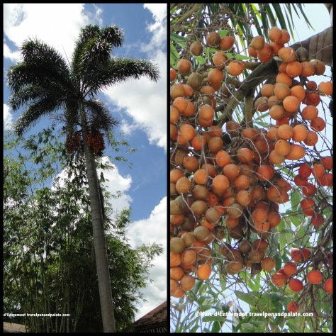 Peach palm & its fruit – the fruit is edible when cooked
