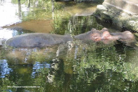 Lucifer, an African hippopotamus at Homosassa Springs Wildlife State Park