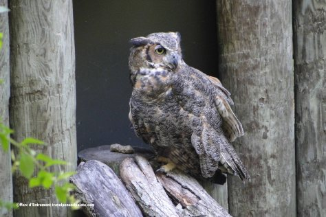 Great Horned Owl, Homosassa Springs Wildlife State Park