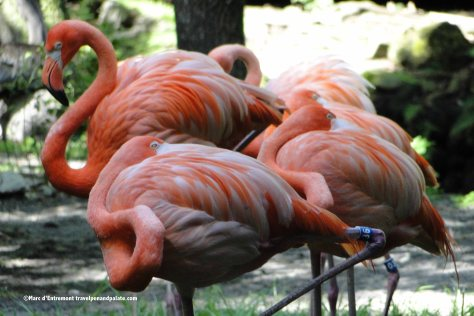 flamingos at Homosassa Springs Wildlife State Park