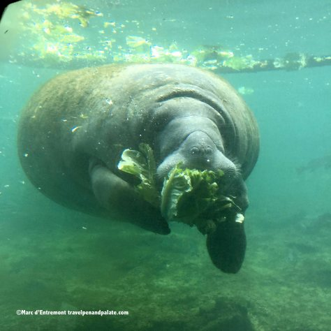 A manatee through the underwater observatory at Homosassa Springs Wildlife State Park